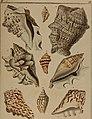 Die Flügelschnecken (Strombea) - in Abbildungen nach der Natur mit Beschreibungen (1845) (20888849076).jpg
