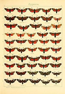 <i>Zygaena cynarae</i> Species of moth