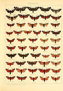 <i>Zygaena cuvieri</i> Species of moth