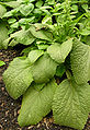 Digitalis purpurea 'Primrose Carousel' Leaves 1100px.jpg