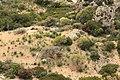 Dingli - Triq Panoramika - Cliffs - Euphorbia dendroides 01 ies.jpg