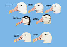 Diomedea (great albatross) heads.jpg