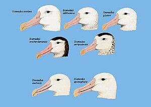 Great albatross - Facial features of various Diomedea species.