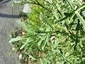 Diplotaxis tenuifolia sl9.jpg