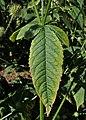 Dipsacus pilosus kz17.jpg