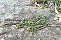 Disphyma australe growing in a crack.jpg