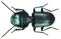 Dixus clypeatus P.Rossi, 1790.png