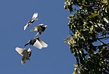 Domestic Pigeon Flock Tree.jpg