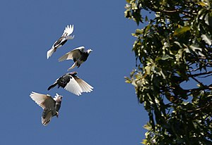English: A flock of domestic Rock Pigeons (Columba livia f. domestica) in flight above Sydney about to pass a tree. Each pigeon is in a different phase of its stroke..