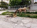 Donkey'stail2.jpg