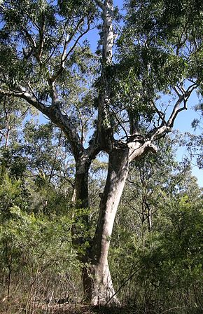 Description de l'image Dorrigo Gum 1.JPG.