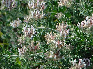 <i>Lotus hirsutus</i> species of plant