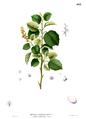 Doryxylon spinosum Blanco2.463.png