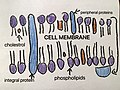 Drawing of Cell Membrane.jpg
