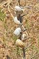 Dried snails in Malia Greece.jpg