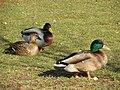 Duck, Enniskillen (10) - geograph.org.uk - 1748834.jpg