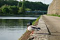 Duck along the Sambre river in Namur, Belgium (DSCF5568).jpg