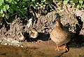Ducks at Stepswater - geograph.org.uk - 1249279.jpg