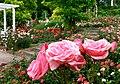 Duftende Schönheit, der Rosengarten im Kurpark Bad Mergentheim. 07.jpg