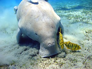 Wild Arabia - Dugongs inhabit the shallow waters of the Persian Gulf