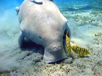 Gulf of Mannar Marine National Park - Dugong with tropical fish
