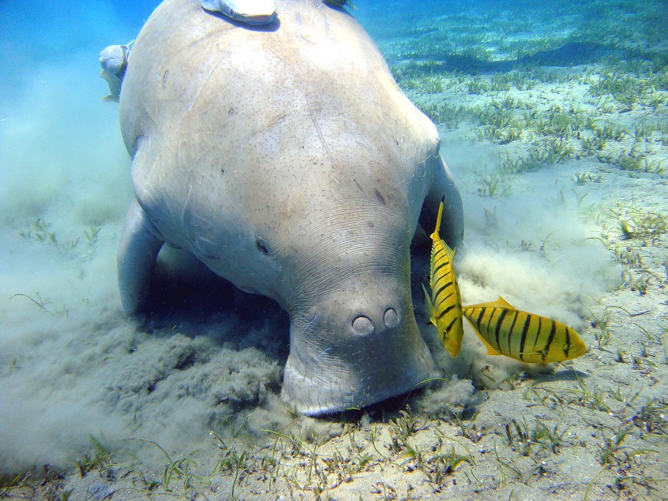 A dugong with its mouth on the sandy seafloor, leaving a noticeable cloud which hovers near the bottom. There are two yellow fish with black stripes near its mouth, and there are grasses poking out of the seafloor