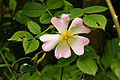 Duinroos (Rosa pimpinellifolia). Locatie. Nationaal Park Lauwersmeer in Groningen 02.jpg