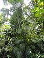 Dypsis lutescens - Palmengarten Frankfurt - DSC01821.JPG