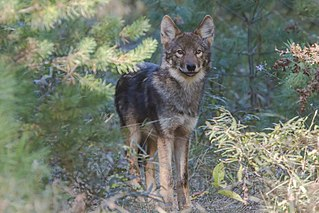 Eastern wolf subspecies of mammal