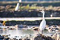 Eastern Cattle Egret, Bangladesh (2).jpg
