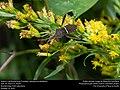 Eastern Leaf-footed Bug (Coreidae, Leptoglossus phyllopus) (31043699305).jpg