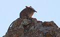 Eastern Rock Elephant Shrew.jpg