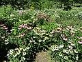 Echinacea (28188722114).jpg