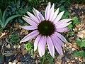 "Echinaceae purpurea ""Rubinstern"" (Compositae) (flower).JPG"