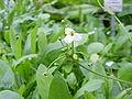 Echinodorus isthmicus2.jpg