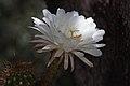 Echinopsis candicans (6).jpg