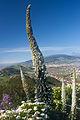 Echium simplex k3.jpg