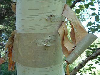 Betula papyrifera - Peeling bark