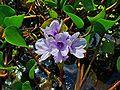 Eichhornia azurea 002.JPG