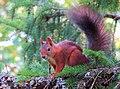 Ekorre Red squirrel (20286635432).jpg