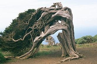 La Frontera, Santa Cruz de Tenerife - Phoenicean Juniper (Juniperus phoenicea) at El Sabinar, El Hierro, Canary Islands (Spain)