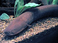 Electric Eel.jpg