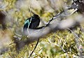 Elegant Trogon (male) (33206340153).jpg