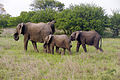 Elephant (Loxodonta Africana) 09.jpg