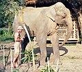 Elephant maximus.jpg