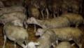 Elevage-agneau-toux.png