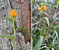 Elleanthus aurantiacus (14791151485).jpg