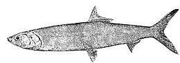Elops saurus (line art)