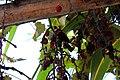 En el centro de la toma, una mariposa negra de rayados rojo y blanco se alimenta uvas pasas - panoramio.jpg