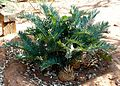 Encephalartos trispinosus, Waterberg.jpg
